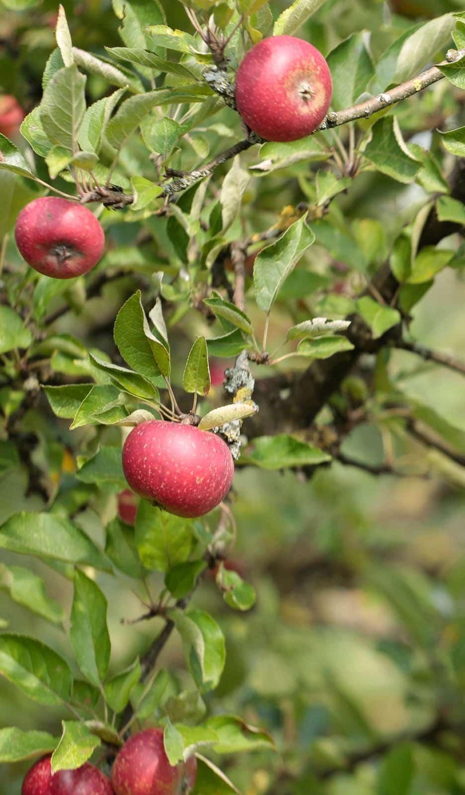 Rolfing Apfelbaum